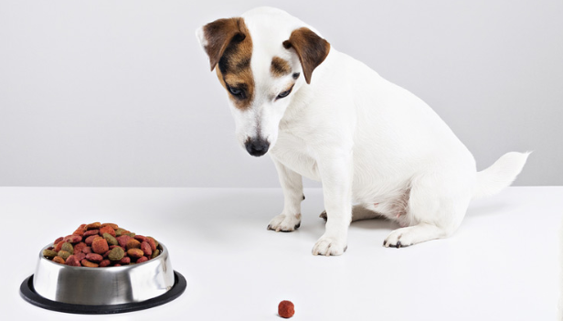 dog not eating food