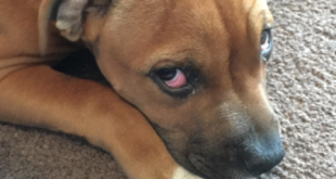red eyes in dogs